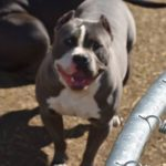 pit bull tricolor for sale