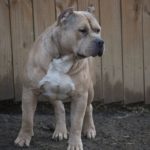 breeders american bully tricolor