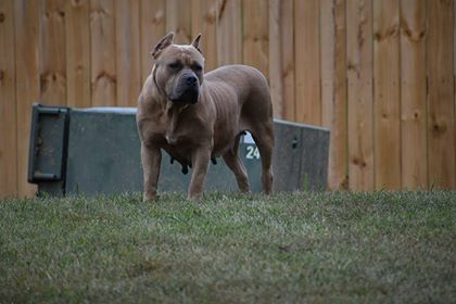 american bully xl for sale