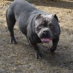 american bully tricolor breeders