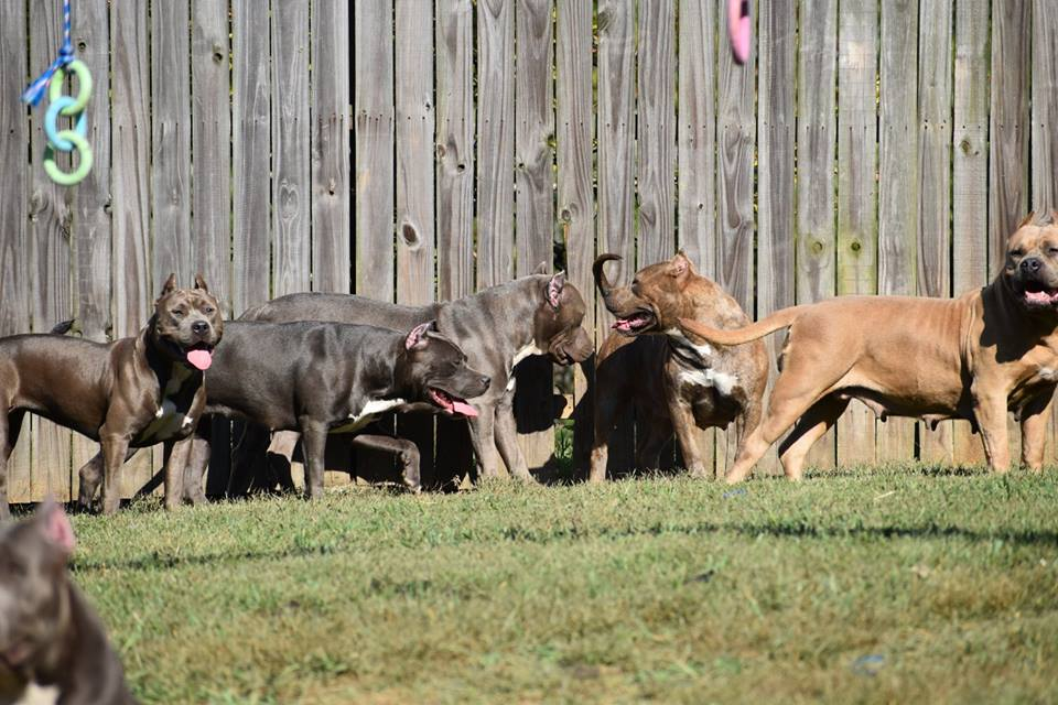 STANDARD, POCKET, & XL BULLIES IN NORTH CAROLINA | G-train