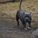 breeders pitbull tricolor