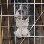 pitbull tricolor breeders