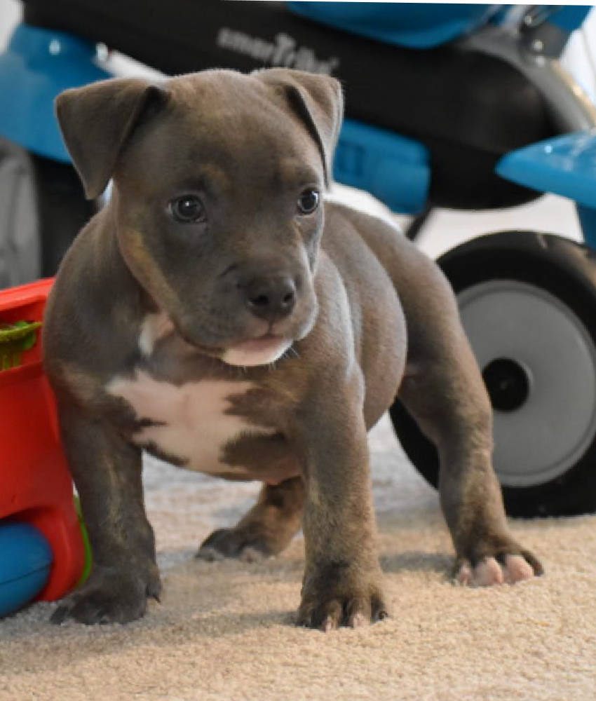 Beautiful Pocket Male Pup