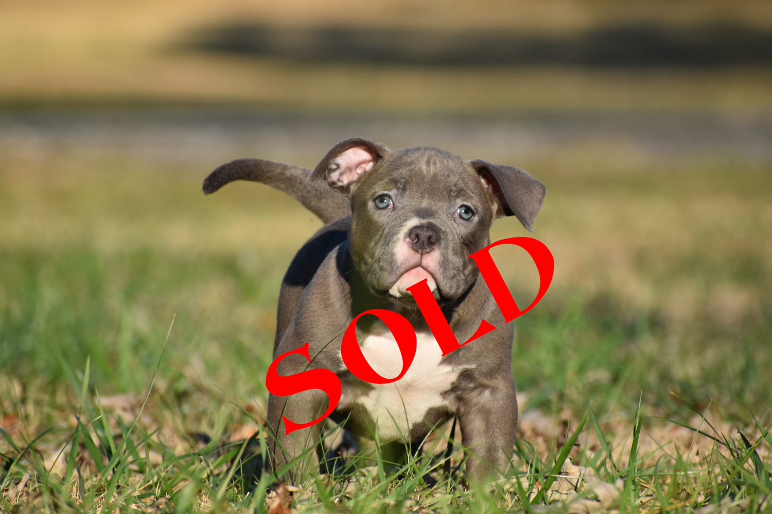 female off Joc and Envy – $3,000 –  SOLD